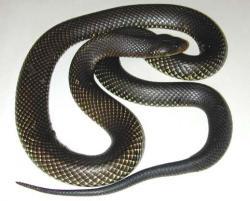 Image result for black snakes